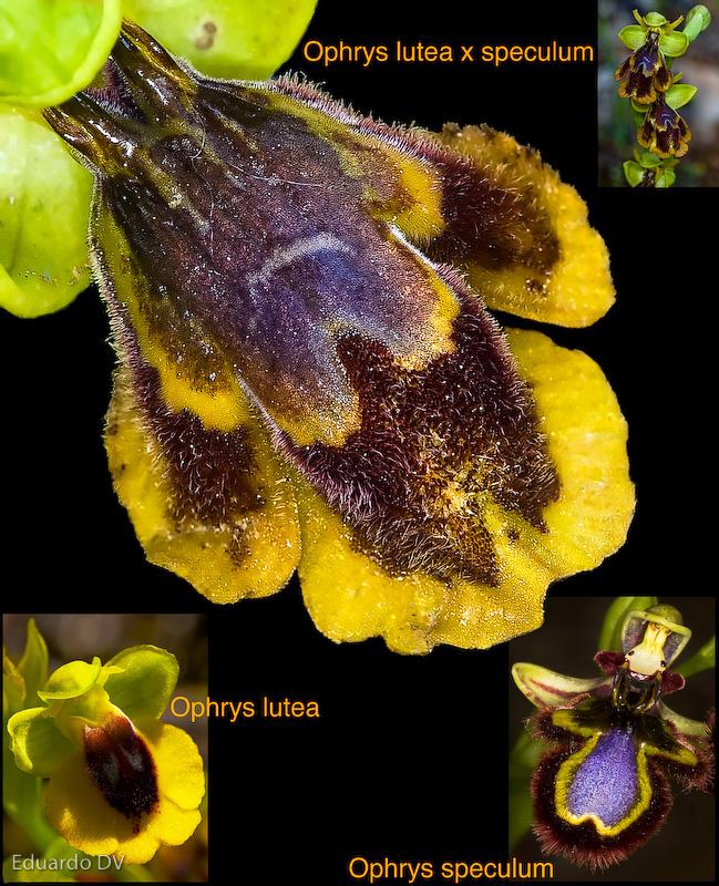 Ophrys x chobautii 1 Orquideas Granada Natural