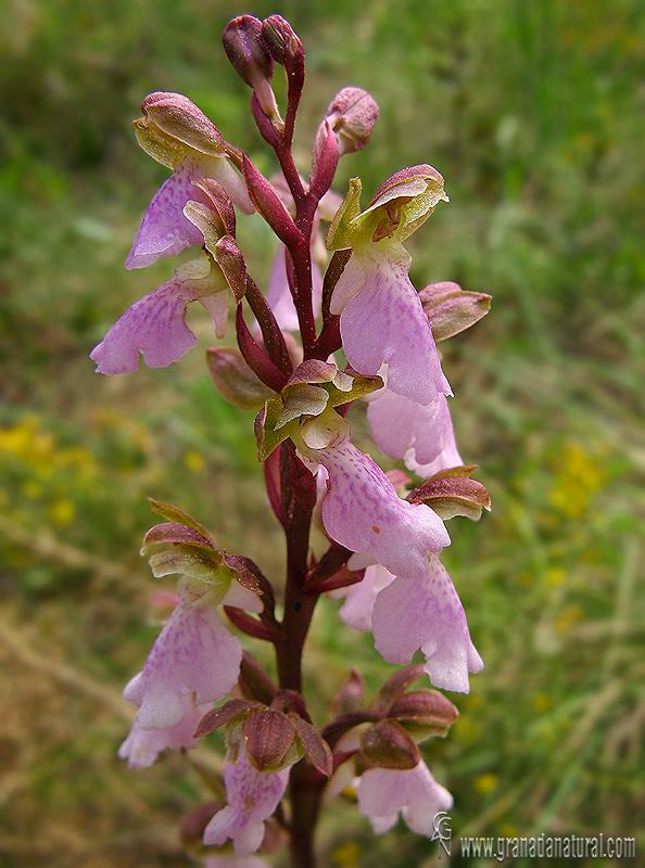 Orchis cazorlensis 1 Orquídeas Granada Natural