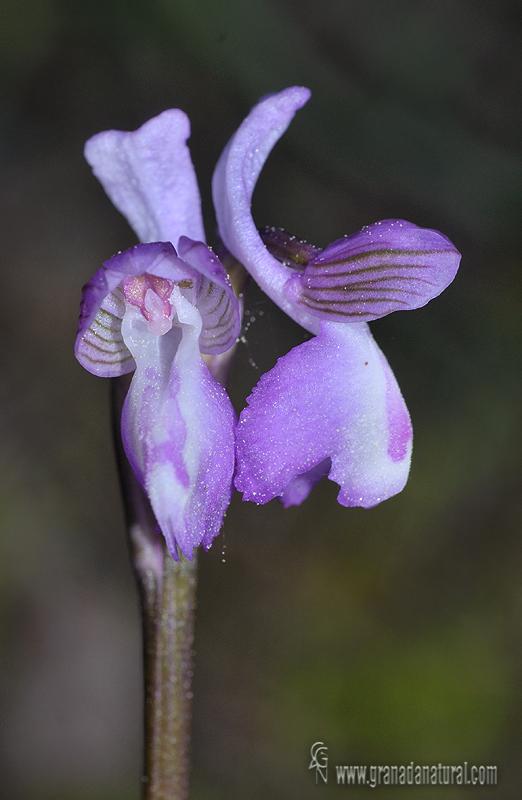 Orchis morio 2 Orquideas Granada Natural