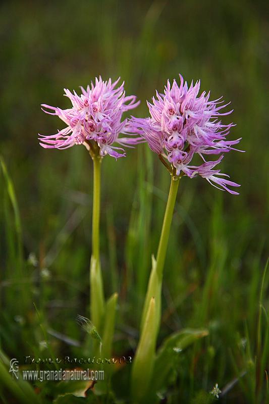 Orchis italica 1 Granada Natural