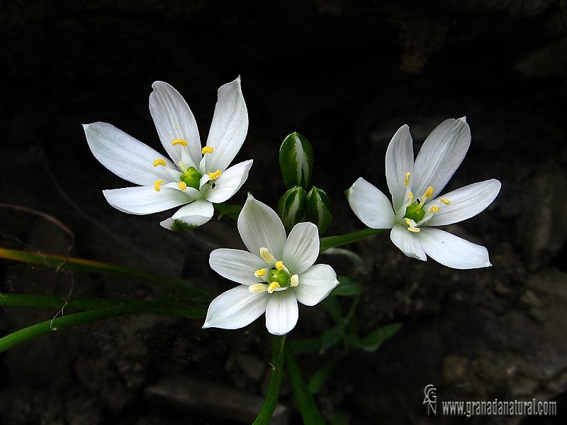 Ornithogalum umbellatum 1 Flora Granada Natural