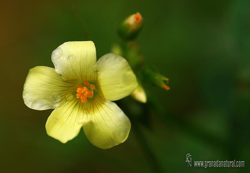 Oxalis pes-caprae 1 Flora Granada Natural