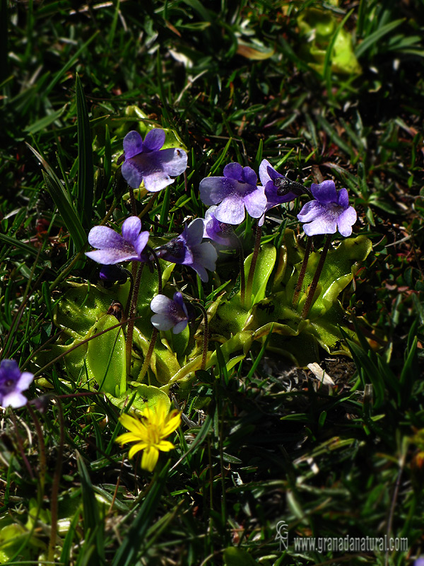 Pinguicula nevadensis