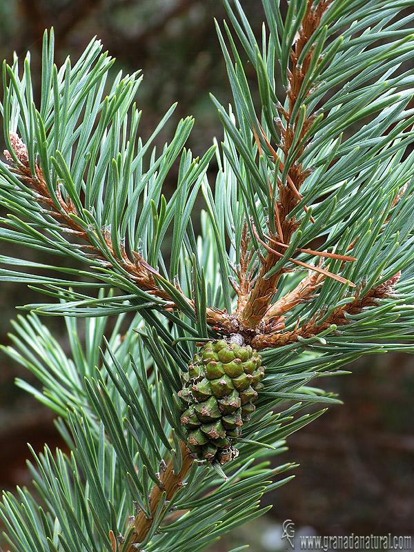 longitud media del pinus