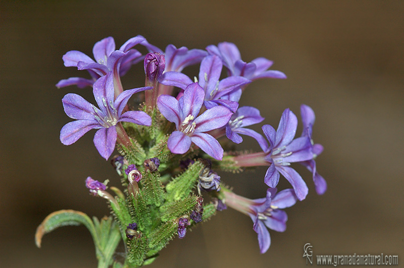 Plumbago europaea 1 Flora Granada Natural