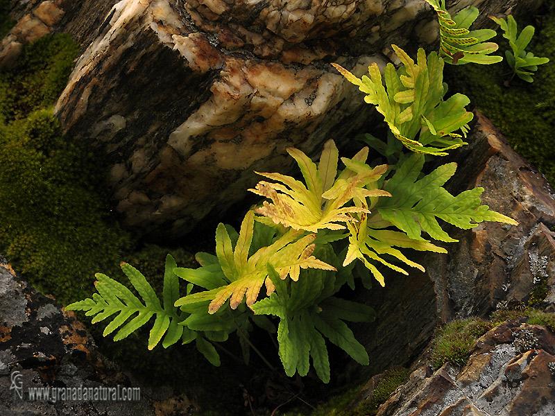 Polypodium vulgare 1