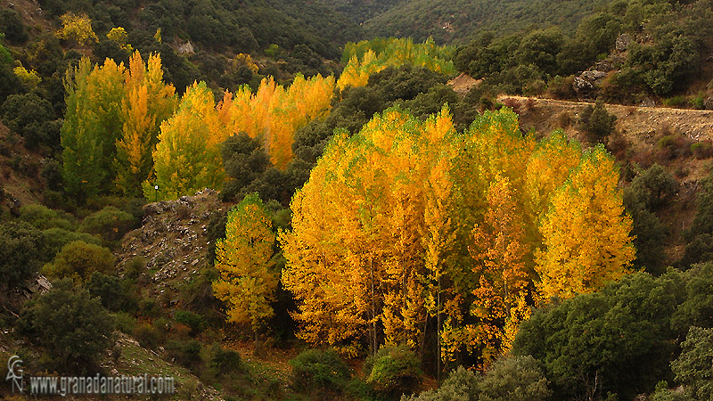 Populus nigra 1 Granada Natural