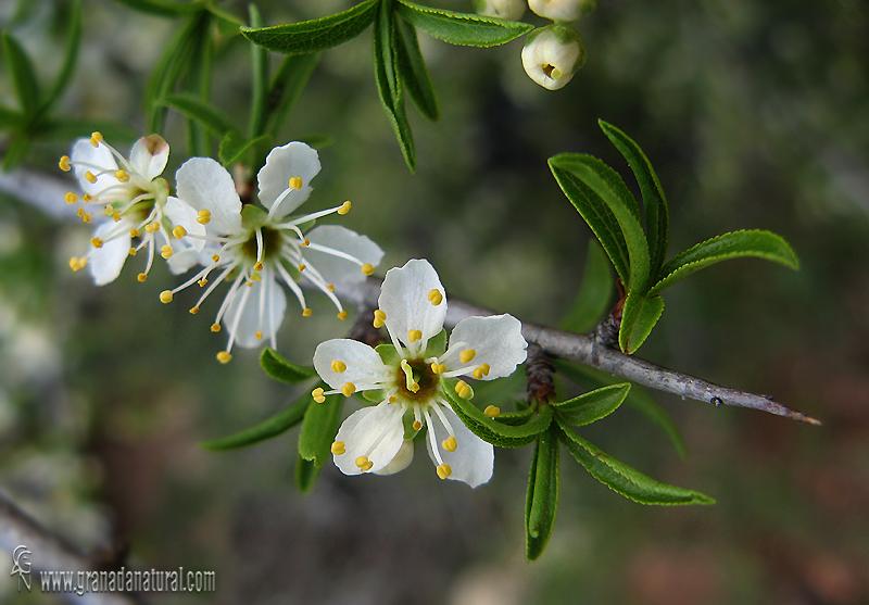 Prunus ramburii 1 Flora Granada Natural
