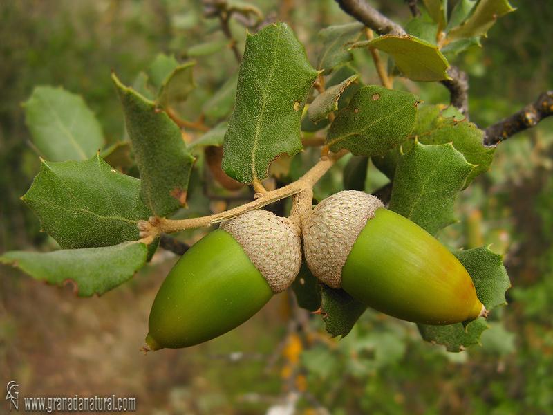 Quercus ilex ssp. ballota (frutos) 1