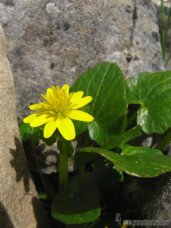 Ranunculus ficaria 1 Flora Granada Natural