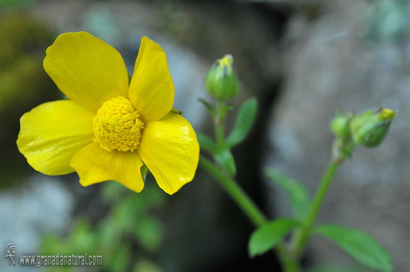 Ranunculus spicatus subsp. blepharicarpos 1