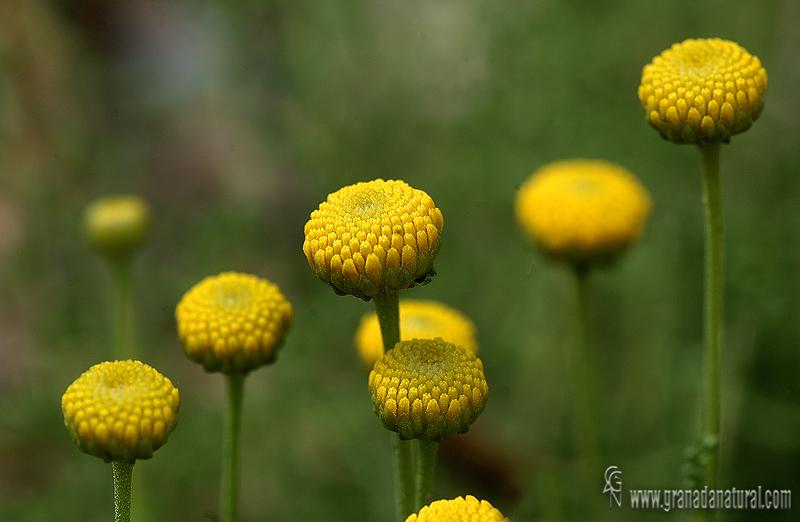 Santolina chamaecyparissus 1 Flora Granada Natural