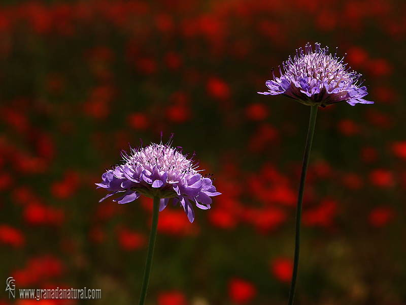 Scabiosa atropurpurea 1 Flora Granada Natural
