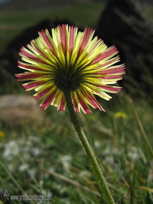 Scorzoneroides-nevadensis- 1