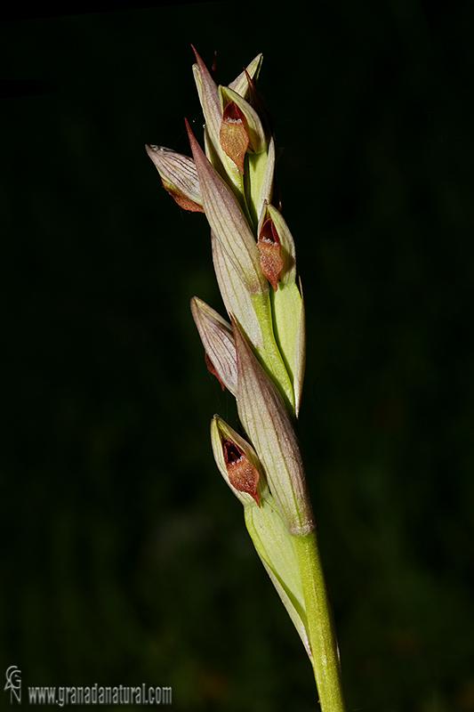 Serapias parviflora 1 Orquideas Granada Natural