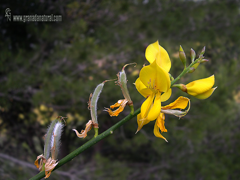 Spartium junceum 1 Granada Natural