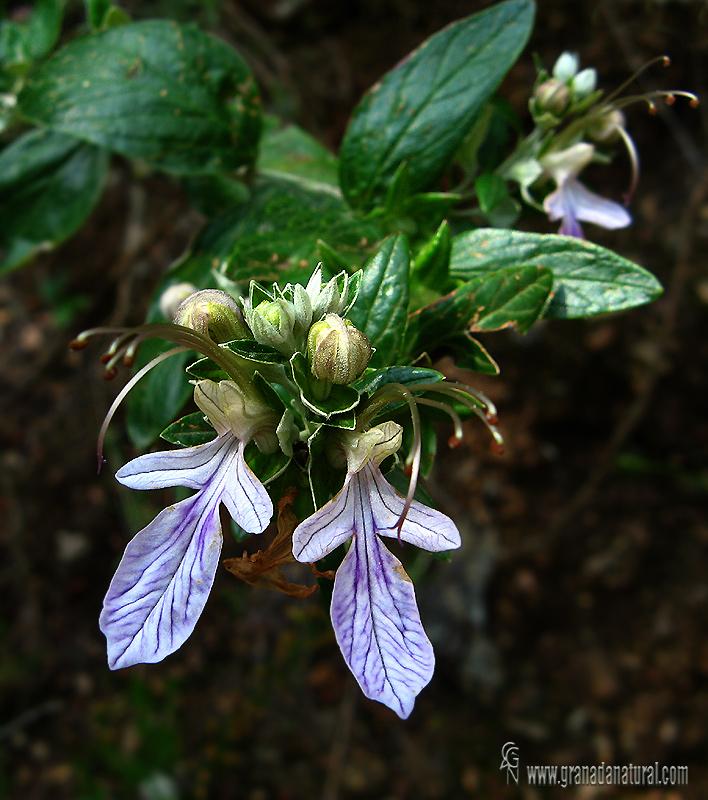Teucrium fruticans 1 Flora Granada Natural