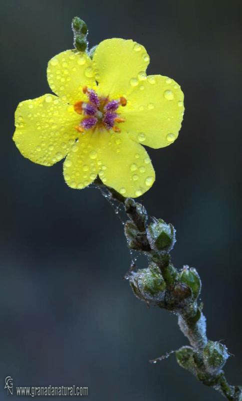 Verbascum sinuatum 1