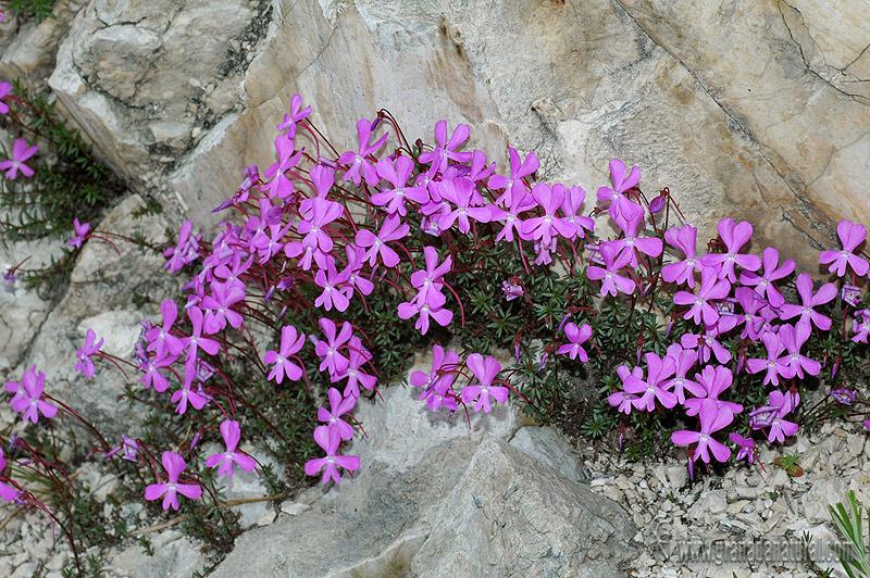 Viola Cazorlensis 1 Granada Natural