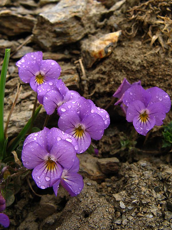 Viola Crassiuscula