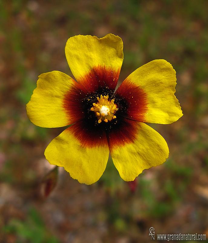 Xolantha guttata 1 Flora Granada Natural