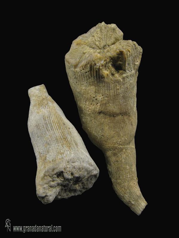 Placosmilia gracilis