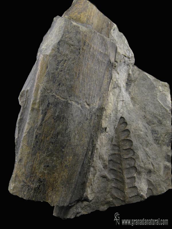 Cordaites palmaeformis