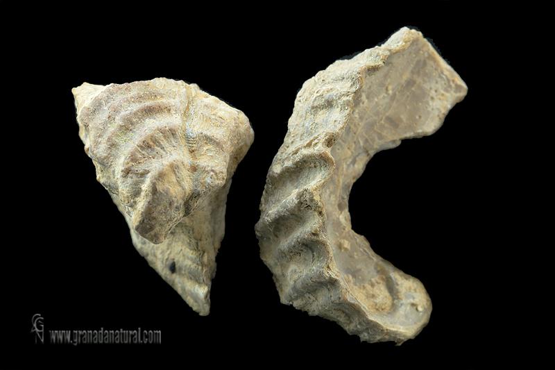 Ceratostreon pliciferum