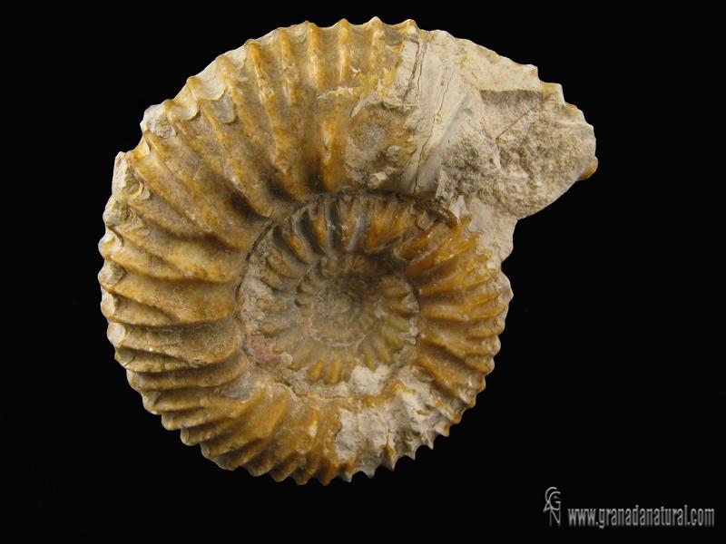 Reineckeia anceps