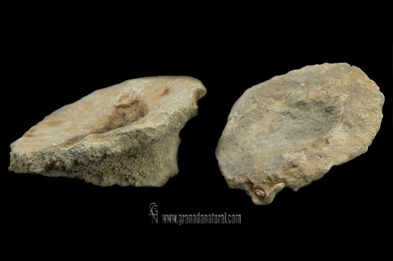 Cnemidiastrum rimulosum