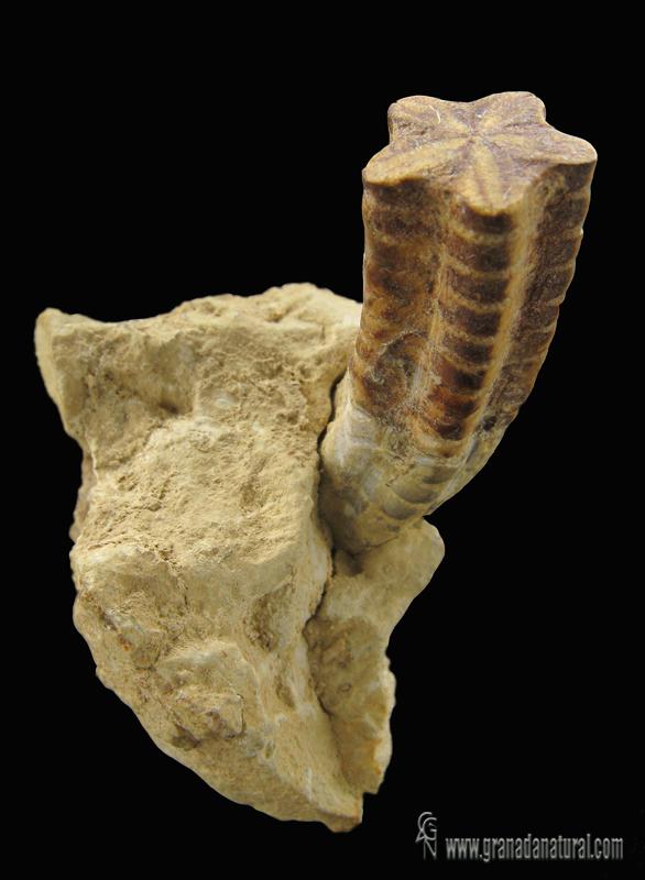 Isocrinus scalaris