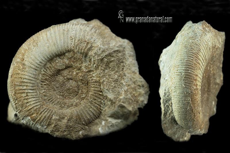 Dichotomosphinctes wartae
