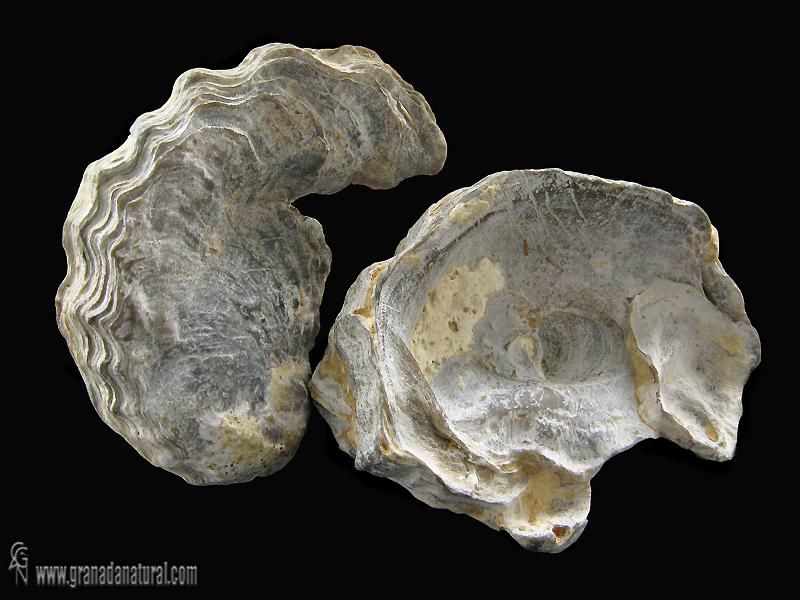 Ceratostreon tuberculiferum