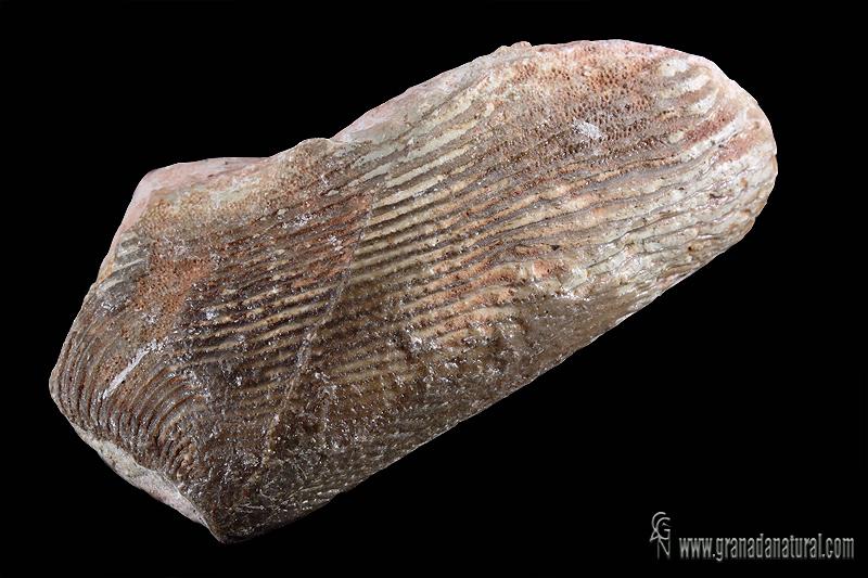 Lamellaptychus lamellosus