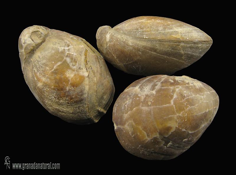 Lobothyris subpunctata