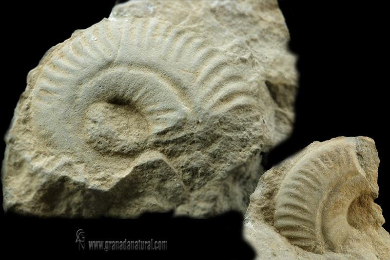 Ochetoceras canaliculatum