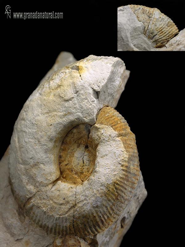 Olcostephanus