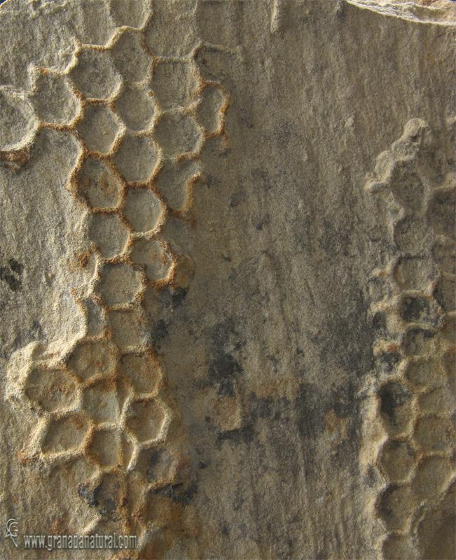 Palaeodictyon