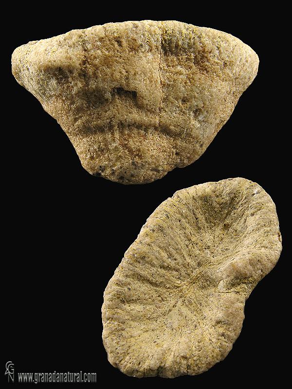 Patalophyllia sinuosa