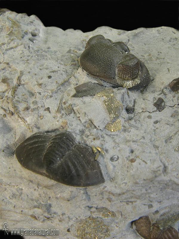 Phacops rana