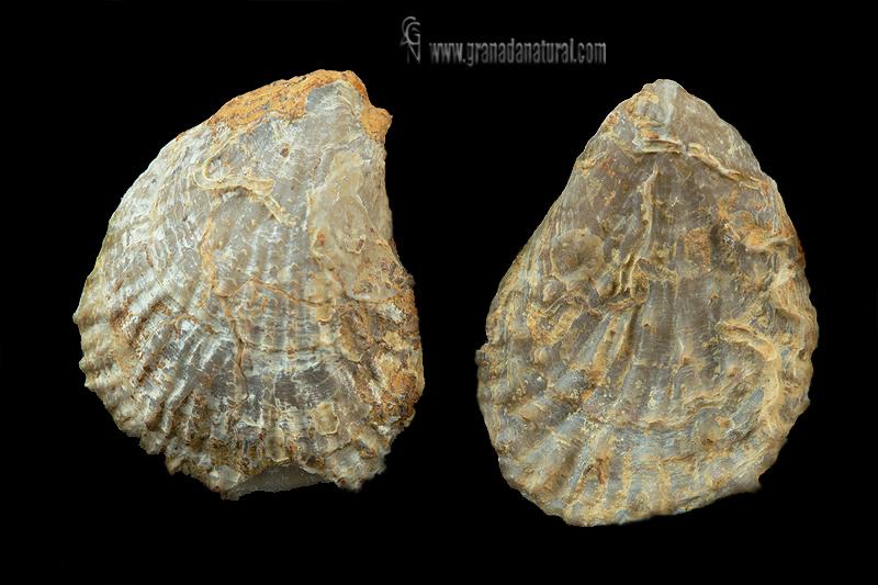 Plicatula spinosa