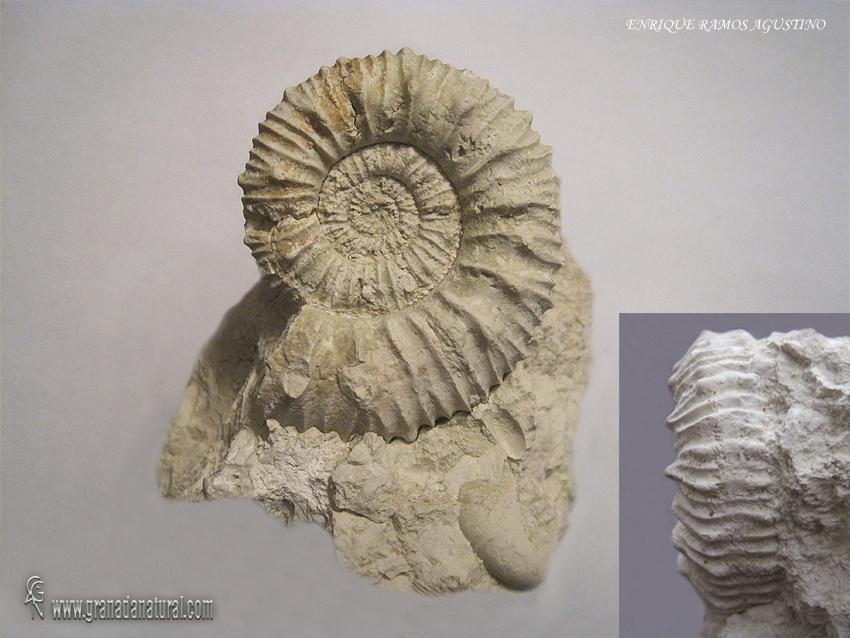 Protacanthodiscus darwini