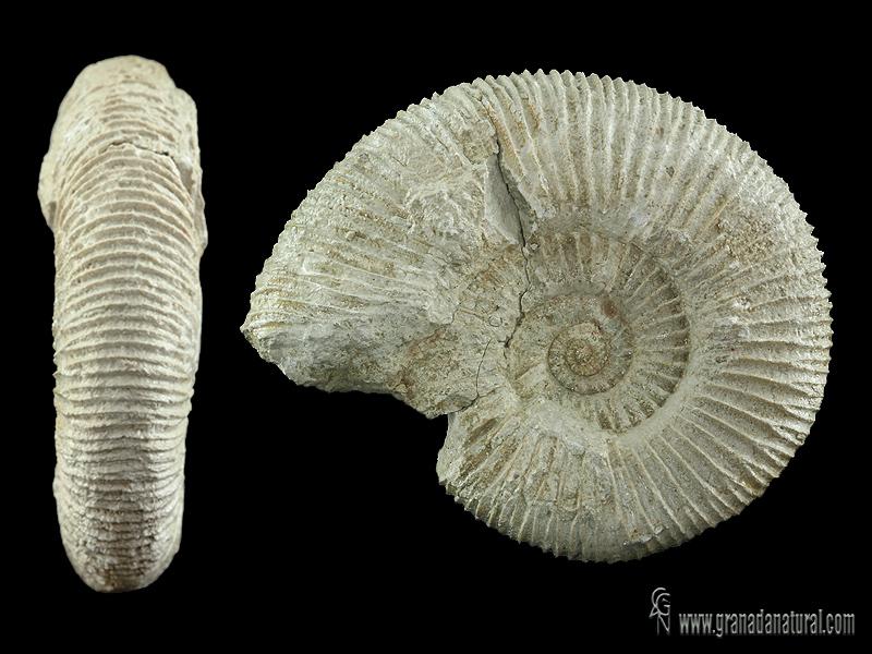 Pseudodiscosphinctes densecostatus