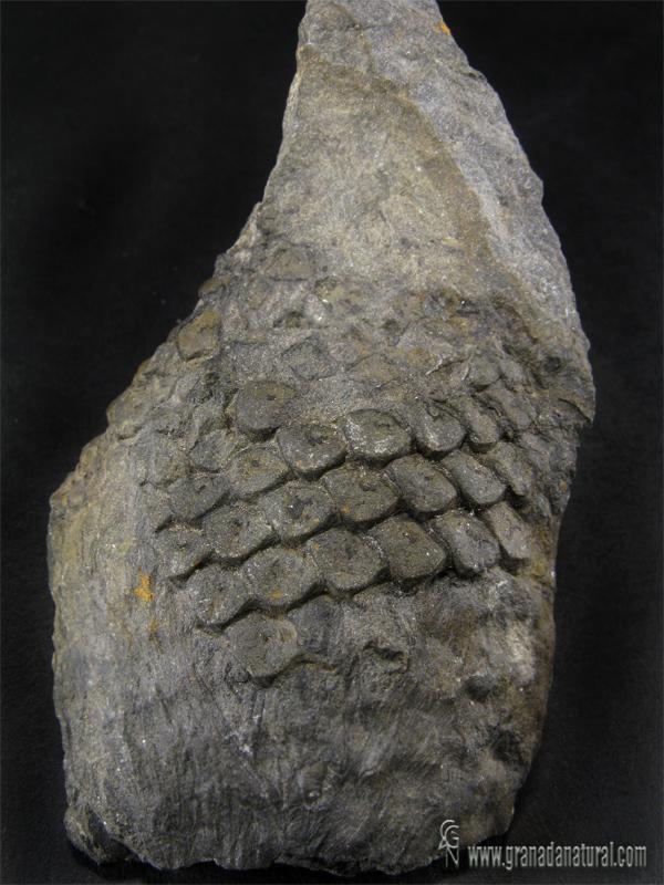 Sigillaria menardii