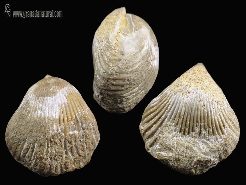Sphenorhynchia plicatella