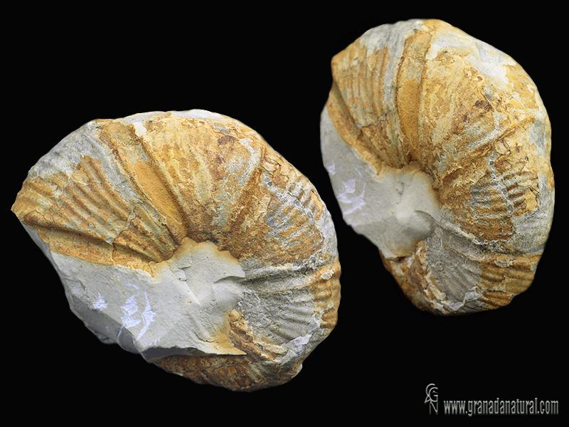 Spitidiscus intermedius