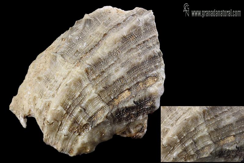 Spondylus crassicosta