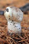 Agaricus impudicus fase joven. Hongos de Granada