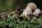 Ossicaulis lachnopus y Cladonia pyxidata.Hongos y l�quenes de Granada