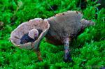 Phellodon melaleucus. Hongos de Granada